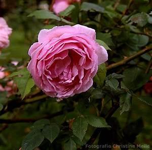 Alte Rosensorten Stark Duftend : bourbonrose 39 mme ernest calvat 39 alte gartenrose ~ Michelbontemps.com Haus und Dekorationen