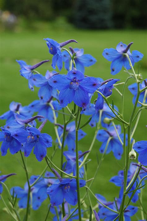 delphinium care in pots delphinium delphinium grandiflorum in winnipeg headingley oak bluff manitoba mb at