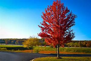 Autumn Flame Red Maple For Sale | The Tree Center™  Maple