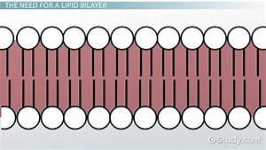 Lipid Bilayer  Definition  Structure  U0026 Function