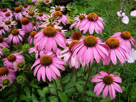 care of coneflowers coneflower care planting growing echinacea flowers garden design