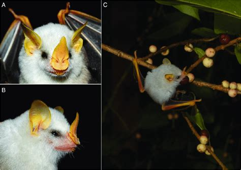yellow coloration of the skin honduran white bat images a and b details of the bright