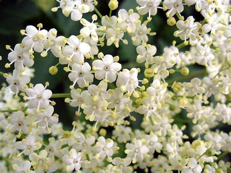 fior di sambuco sciroppo fiori di sambuco hugo