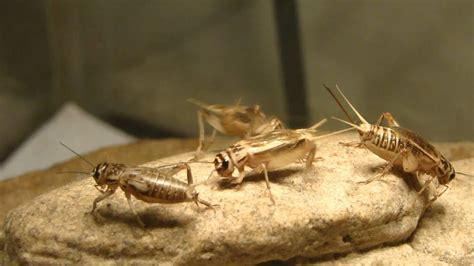 Crickets chirping - YouTube