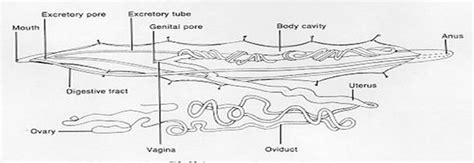 The Gallery For --> Ascaris Anatomy Diagram