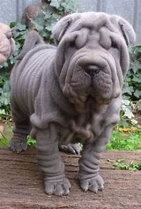 25 very awesome blue shar pei dog photos and pictures
