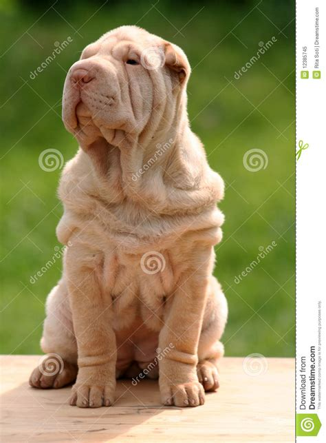 sharpei do filhote de cachorro foto de stock royalty free