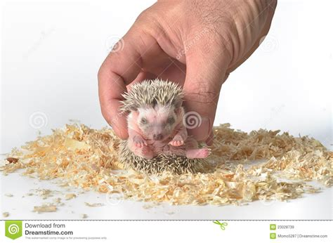 heat l for pygmy hedgehog pygmy hedgehog in stock image image 23028739