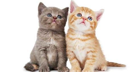 gambar kucing imut banget kucingcoid