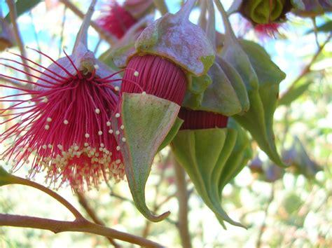 Australian Native Flowers  Gardens & Polka Dots