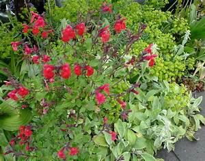 Salvia greggii | Portland Monthly