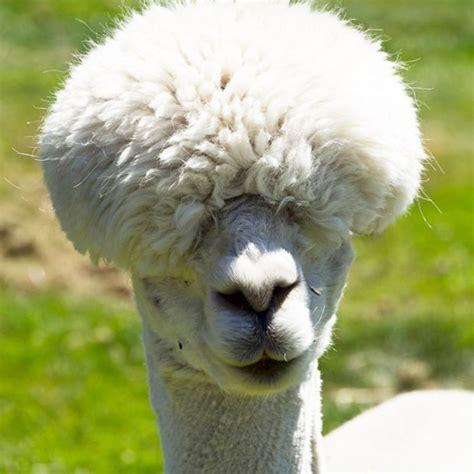 shaved alpacas  pics