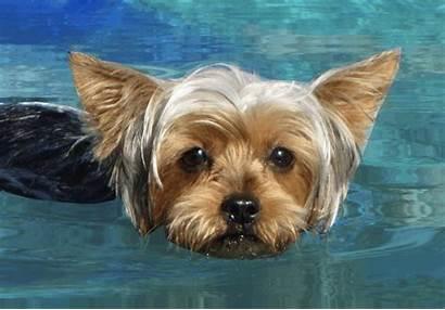 Yorkshire Centerblog Yorkie Eau Silky Terrier Puppy