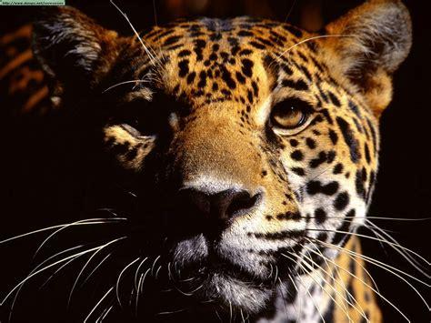 Fotos De Leopardos, Guepardos Y Jaguares (ii