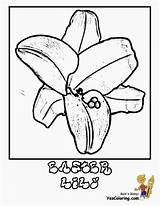 Lily Coloring Flower Easter Plant Lilies Yescoloring Luxurious sketch template