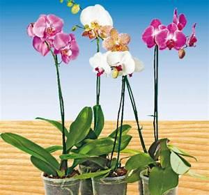 Orchidee Blüht Nicht Mehr : schmetterlings orchidee von penny markt ansehen ~ Lizthompson.info Haus und Dekorationen