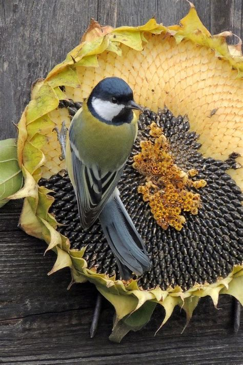 bird eating dried sunflower seeds pictures