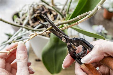 orchideen schneiden orchideen abschneiden wann wie orchideen richtig schneiden plantura