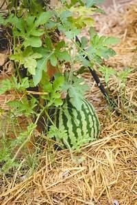 Wann Kann Man Rhabarber Ernten : wann man eine reife wassermelone ernten sollte wassermelone melonen und garten anpflanzen ~ A.2002-acura-tl-radio.info Haus und Dekorationen