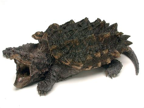 aligator cuisine alligator snapping turtle endangered animals list our