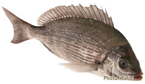 cuisiner dorade grise la pêche en normandie
