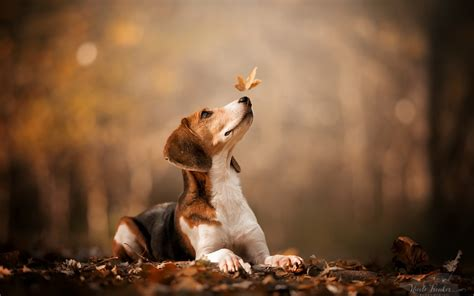 Fall Backgrounds Dogs by 1920x1200 Beagle Autumn Leaf Photography Dogs