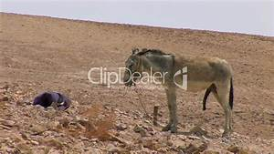 Donkey Big Dick Royalty Free Video And Stock Footage