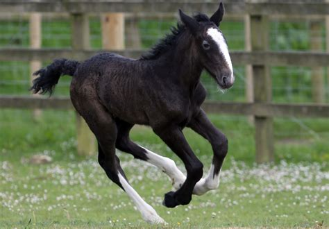 shire rare horse foal animal horses week horsey appearance zimbio makes filly gen