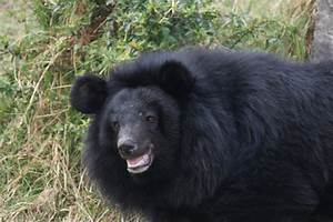 Himalayan Black Bear by Bhavesh-P on DeviantArt