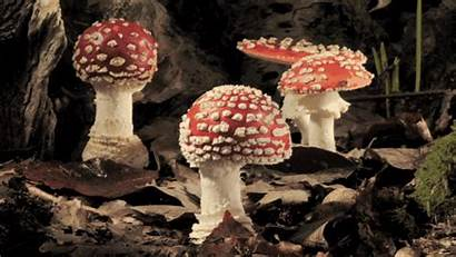 Mushroom Mushrooms Fungi Growing Lapse Amanita Forest