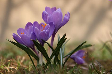 krokus flowers crocus flowers in the forest wallpapers and images wallpapers pictures photos