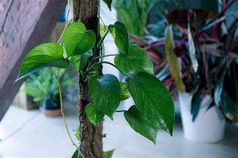 urban jungle  pflegeleichte zimmerpflanzen