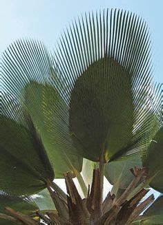 900+ ideias de Palmeiras Ornamentais | palmeiras, palmeira ...