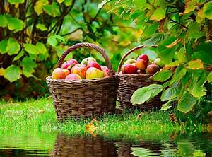 Mirroring, A, Basket, Of, Apples, Basket, Of, Ripe, Red, Nature, App