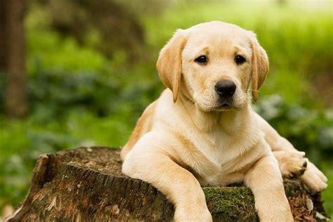 Dog intelligence ranking