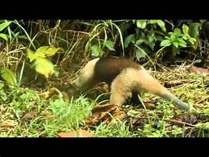 Anteater eating ants in Costa Rica - YouTube