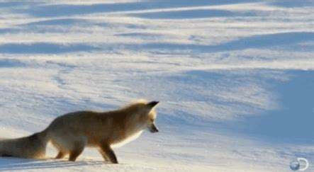 Fox Snow GIF - Find & Share on GIPHY