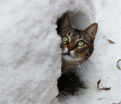 21 cats that appreciate snow mnn nature network