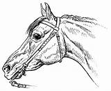 Horse Bridle Drawing Horsemanship Coloring Horses Equinest Commons Pferde Getdrawings Tack Donkeys Wikimedia sketch template