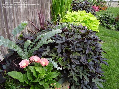 Decorative Potato Plant - plantfiles pictures ornamental sweet potato sweet potato