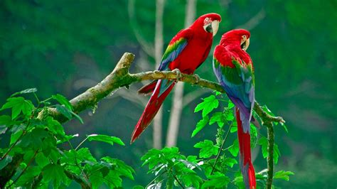 Wallpaper Nature Animals - nature animals wildlife macaws wallpapers hd desktop