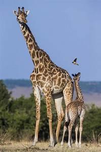 Stupefying Facts About Giraffes That Will Make You Gawk  Giraffe