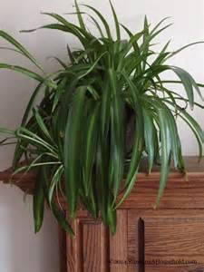 spider plants sprucing up your home with houseplants running a household