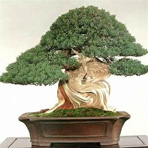 Bonsai Baum Garten : 633 besten bonsai bilder auf pinterest g rtnern ~ Lizthompson.info Haus und Dekorationen