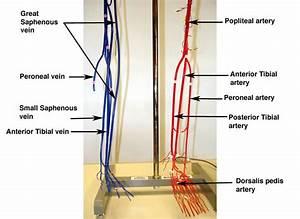 Lab Practicum 2 - Circulatory System