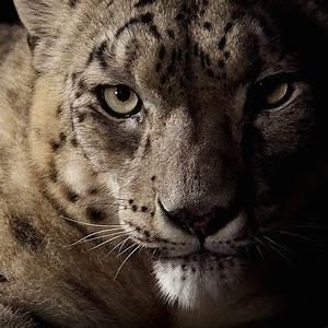 Dramatic Studio Portraits of Big Cats by NatGeo ...
