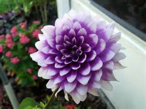 dahlias flowers purple dahlia cweenmj 39 s photos