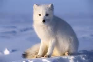 Animal Tundra Arctic Fox