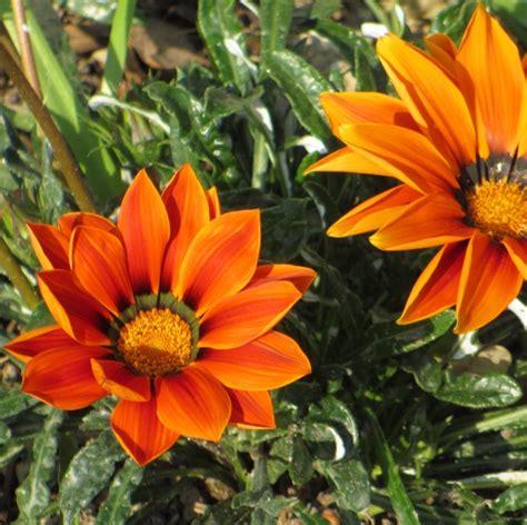 pianta fiori arancioni pianta fiori arancioni