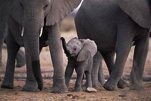 Elephant Calf - Facts about Baby Elephants